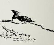 Altarstanes razorbill, Isle of May, 12x15cm