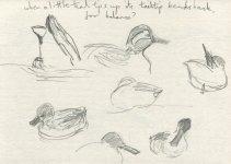 teal, Caerlaverock WWT reserve