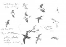 Isle of May flight sketches (1), 14x21cm