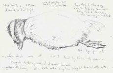 Isle of May, eider chick, 13x20cm