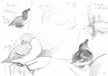 razorbill on egg, Main Light cameo, Isle of May, 15x21cm