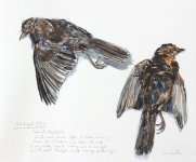 dead blackbird, August 2013, 31x38cm