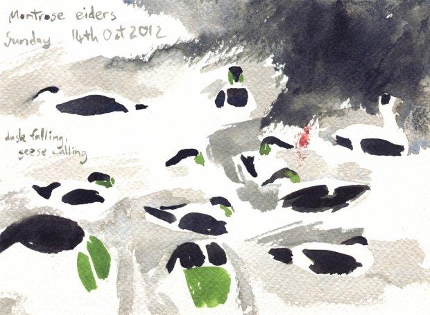 Montrose eiders, 13.5x19cm