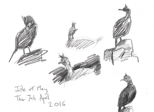 shag studies, 7th April, Isle of May, 15x21cm